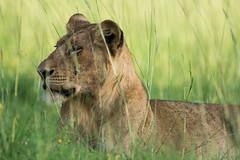 Uganda20140701_877 (cjwveldkamp) Tags: africa wildlife lion safari uganda
