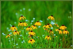 Brown-Eyed Susans (Wolverine09J ~ 1.5 Million Views) Tags: minnesota browneyedsusan tallgrassprairie floralfantasy prairiewildflowers summerblossoms flickrsawesomeblossoms floraaroundtheworld ourwonderfulandfragileworld