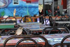 Compañero de mesa (magubo) Tags: beach colors animal fauna eos botes desert aves colores ojos caldera atacama latinoamerica desierto animales poesia normal cultura pajarito chileno desiertourbano terceraregion magubo