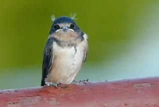 When Swallows Have Ear-Tuffs OR When Field Guides Fail