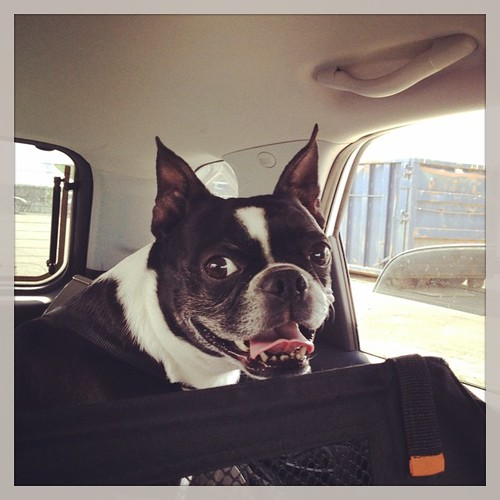 Smiley Face! #iheartmydog #bt #bostagram #bostonterrier #bostonterriers #bostonterrierlove #dogdays #adogslife #roadtrip #summer #shutterbugging