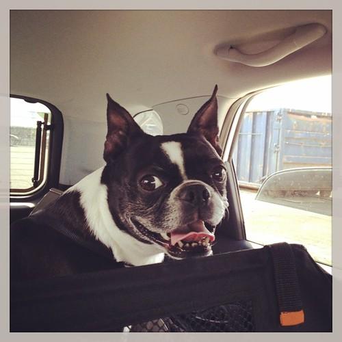 Smiley Face! #iheartmydog #bt #bostagram #bostonterrier #bostonterriers #bostonterrierlove #dogdays #adogslife #roadtrip #summer #shutterbugging