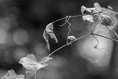 Baggage (Carolyn Lehrke) Tags: trees bw usa nature photography vines explore wv elite baggage impossible clinging lettinggo greenbriercounty