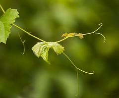 Hangin' Out (Carolyn Lehrke) Tags: trees summer green nature vines weeds woods explore hangin hanging explored ilobsterit