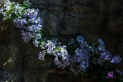 GHIRLANDA (Lace1952) Tags: muro italia ombra di fiori sole azzurro luce umbria monti norcia castelluccio colre sibillini ghirlanda nikkor18300vr nikond7100