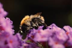 Abeille sauvage (crv) Tags: fleur eau pluie abeille sauvage