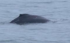 The Whale (Explored) (Robin M Morrison) Tags: humpback whale slaptonsands slapton devon
