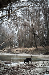 (Rob Hurson) Tags: pentaxk30 pentax winter slovakia ice danube river water pentaxm40mm28 bratislava chocolatelabrador labrador dog walking