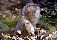 Searching. (pstone646) Tags: squirrel animal wildlife nature mammal rodent fauna woodland kent ashford