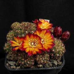 Sulcorebutia hoffmanniana HS90 '370' (Pequenos Electrodomésticos) Tags: cactus cacto flower flor sulcorebutia sulcorebutiahoffmanniana