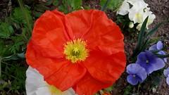 """PATRIOTE .... , Je vote pour LE ROUGE . (♥charlyzamour♥ """" vous remercie pour vos visite) Tags: pavots fleurs pensees bleu blanc rouge"""