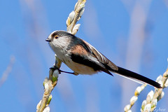Long-tailed Tit-7960 (kevinmayhew62) Tags: longtailedtit