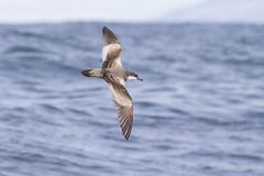 Buller's Shearwater (Baractus) Tags: kaikoura pelagic john oates bullers shearwater new zealand