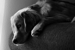 RRS05988 (zzra) Tags: golden retriever dog black white contrast lighting