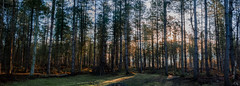 Forest Pano (Jon°) Tags: sonyrx100 sony rx100 bike bikeride santa cruz santacruz bronson carbon vehicle bicycle seat wheel outdoor landscape field plain grass plant sky grassland tree forest trail hill mountain mountainside 2017 march delamere early morning