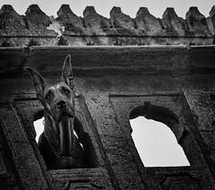Jaisalmer-3700-Bearbeitet-Bearbeitet (tosakan2000) Tags: asien indien urlaubasien dog watching bw