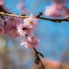 Zierkirschen-Blüte mit Biene (p.schmal) Tags: panasonicgx80 hamburg farmsenberne frühjahr zierkirschen blüte
