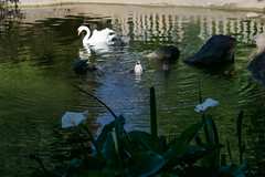Pond life (Black prism) Tags: callalily swan