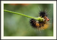 Larva - Catterpillar (J. Amorin) Tags: larvas larva catterpillar mariposa butterfly amorin macro gusano canon10028macro canon7d macuspana mariposasdemexico mariposasdetabasco