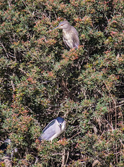 Nycticorax nycticorax (Monaggio) Tags: bernatdenit nycticoraxnycticorax animal birds wetlands humedal aves