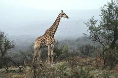 Giraf (Rob van t Padje) Tags: flickr zoogdieren hluhluwe zuidafrika zaf