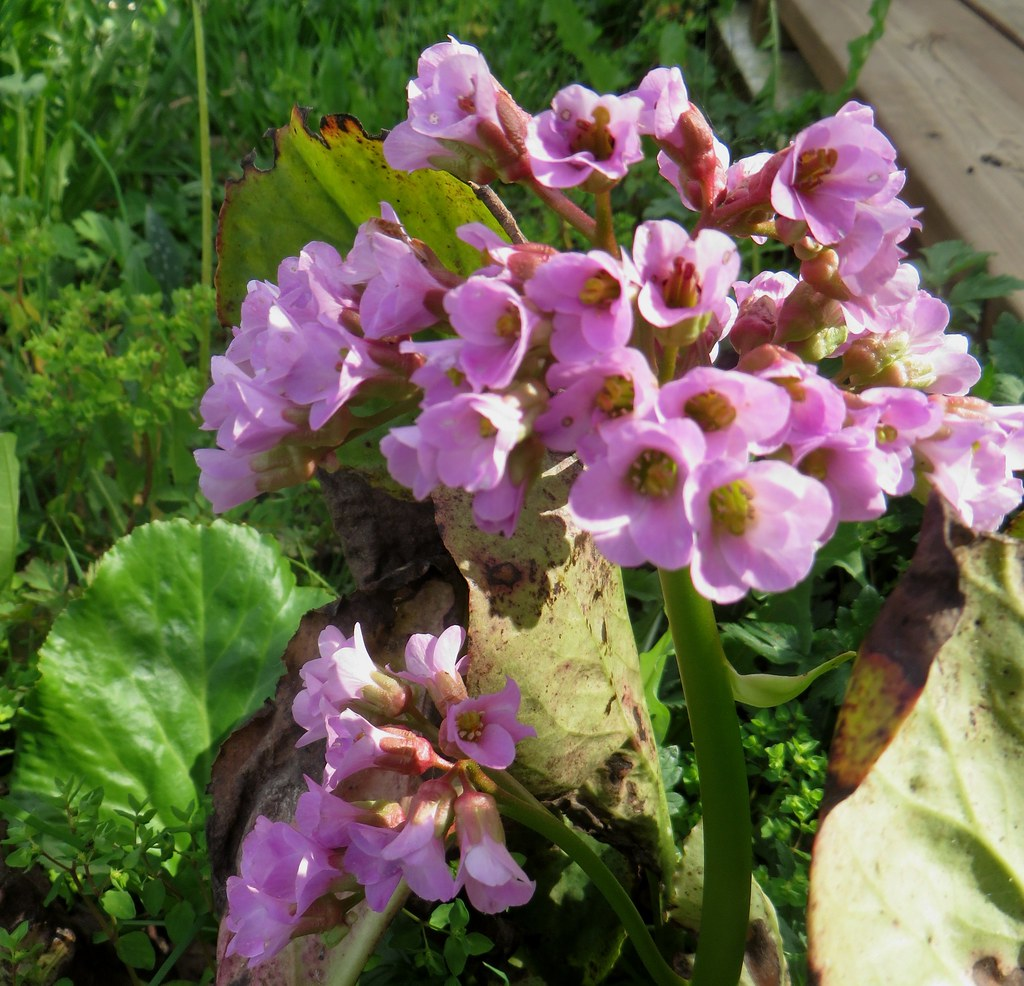 the world's newest photos of bergenia and rose - flickr hive mind