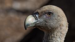 126.2 Vale Gier-20170405-J1704-47795 (dirkvanmourik) Tags: buitreleonado corvisser eurasiangriffon gypsfulvus ineziatoursgierenfotografiereisapril2017 spanje valegier vogelsvaneuropa bird