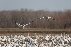 Pungo #74 (Sw,SG) 111as-cr (millsk43) Tags: bird inflight snowgeese