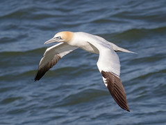 Northern Gannet (tresed47) Tags: 2017 201704apr 20170410capemaybirds birds canon7d capemay content folder gannet newjersey peterscamera petersphotos places takenby us ngc