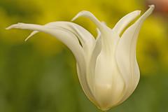A tulip as a ballerina (Roland B43) Tags: flowers bloemen fleurs blumen tulip tulp ballerina white bokeh keukenhof netherlands