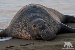 Defeated (fascinationwildlife) Tags: animal mammal elephant sea seal bull male coast california usa america winter wild wildlife nature natur seeelefant beach piedras blancas san simeon