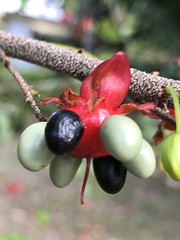 Mickey Mouse Plant seed cluster on my morning walk (jungle mama) Tags: blue red green seed walk ochnakirkii ochna fruit mickeymouseplant hawaii tropicalshrub