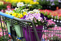 It's the little things... like a shopping cart full of flowers (Kerri Lee Smith) Tags: flowers blossoms spring annuals plants violas pansies garden shoppingcart itsthelittlethings explored