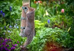 Another Visitor to My Garden (Missy Jussy) Tags: squirrel greysquirrel vermin animal mygarden garden cottagegarden newhey rochdale flowers plants england lancashire birdfeeder canon canon5dmarkll canon70200mm wildlife