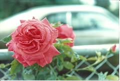 Rose in Mom's garden (Beck9054) Tags: moms garden seattle 9054 house
