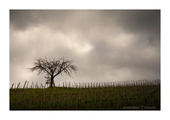 When the wind does not blow (GP Camera) Tags: nikond7100 tamronsp1750mm landscape paesaggio view veduta countryside campagna vineyards vigneti tree albero trunk tronco branches rami frond fronda sky cielo cloudysky cielonuvoloso clouds nuvole hill collina morning mattina light luce shadows ombre lightandshadows lucieombre lighteffects effettidiluce allaperto spring primavera springnature naturainprimavera silence silenzio calm calma quiet quiete solitude solitudine textures trame details dettagli depthoffield profonditàdicampo viewpoint puntodivista vignetting whiteframe cornicebianca italy italia piemonte monferrato darktable gimp opensource freesoftware softwarelibero digitalprocessing elaborazionedigitale
