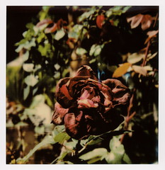 Decaying Rose (tobysx70) Tags: the impossible project polaroid slr680 frankenroid sx70 door rollers color film for 600 type cameras beta 30 3 0217 pioneer member test impossaroid roidweek roid week polaroidweek spring april 2017 decaying rose beachwood canyon drive hollywood hills los angeles la california ca dark red flower petals wilted dying green leaves bokeh reject toby hancock photography