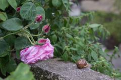 Ψίνθος (Psinthos.Net) Tags: ψίνθοσ psinthos march spring μάρτησ μάρτιοσ άνοιξη φύση nature springstorm ανοιξιάτικηκαταιγίδα καταιγίδα μπόρα storm snail σαλιγκάρι κέλυφοσ shell antennas κεραίεσ σταγόνεσβροχήσ σταγόνεσ raindrops drops raining βρέχει βροχή rain άνθη blossoms μπουμπούκια buds rosebuds τριανταφυλλιά τριαντάφυλλα roses rosebush pinkroses ρόζτριαντάφυλλα τριαντάφυλλο rose pinkrose ρόζτριαντάφυλλο βρύση βρύσηψίνθου βρύσηψίνθοσ περιοχήβρύση vrisi vrisiarea vrisipsinthos βροχερήμέρα rainingday