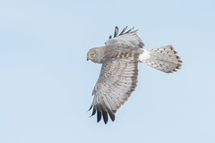 Northern Harrier male (Joe Branco) Tags: thegrayghost raptors songbirds photoshopcc2017 lightroomcc2015 ontario canada joebrancophotography outdoors nature nikond500 nikon branco joe birding wildlife northernharrier green