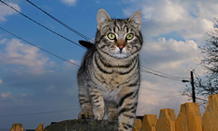 ready to jump (Anny-justme) Tags: nature day light animal cat eyes intent focused fur portrait paw clouds landscape lines silhouette sky up fence