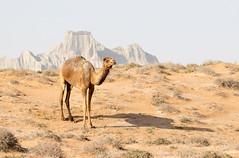 Dromedary (Camelus dromedarius) (piazzi1969) Tags: elements arabiancamel dromedary camelusdromedarius mammals nature fauna wildlife canon eos 7d markii ef100400mm middleeast iran