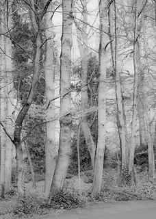 beech trees @ Marlay park HMBT