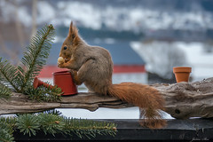 Today's breakfast guest (janne.skei) Tags: today breakfast guest squirrel animal nuts eats nice hunrgry food friend alone morning beautiful background color colorful cold close eyes early red fz1000 garden grey golden heart wild light lumix lovely lumixfz1000 love moment magic nature norway norge ngc neighborhood neighbors outdoor panasonic peace raw surnadal theunforgettablepictures wildlife winter beautifulexpression brown march ears fur feet tail