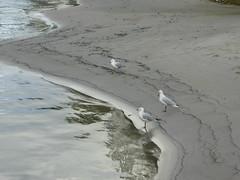 P1030298 (gordonduffus) Tags: silvergull