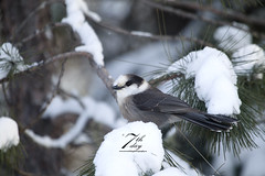 Grey Jay (Seventh day photography.ca) Tags: greyjay whiskyjack jay bird nature animal wildanimal wildlife winter snow ontario canada chrismacdonald seventhdayphotography