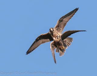 Look out behind you..Peregrines playing