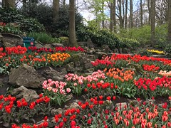 Keukenhof - Tulip Gardens (darrenboyj) Tags: holland netherlands keukenhof tulip tulips rockery flowerbed flower landscape attraction event yearly