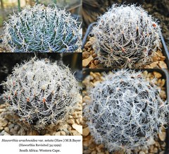 Haworthia arachnoidea var. setata (collage)