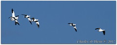 The Flying Ross's (ctofcsco) Tags: 11250 7d 7dclassic 7dmark1 7dmarki 80 800mm black blue canon colorado ef400mmf28liiusm ef400mmf28liiusm20x eos7d 2017 alamosa birds cranes explore explored geo:lat=3745997671 geo:lon=10614014486 geotagged image landscape migration montevista montevistanwr nationalwildliferefuge nature northamerica photo photograph pic picture renown sandhillcranefestival spring wwwmvcranefestorg zinzer extender extender2x extender2xii f8 geese inflight pretty rosssgeese sanluisvalley supertelephoto teleconverter telephoto unitedstates usa white wildlife