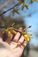 135/365 Spring (yanakv) Tags: spring yo yanitophotography me hand primavera 50mmf18stm 50mm 365days 365dias eos1200d canon flores flowers